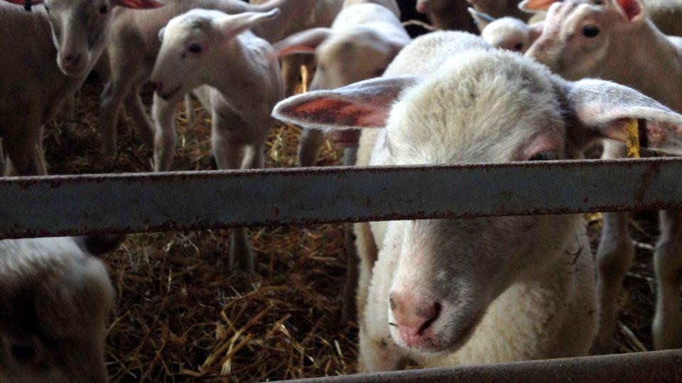 Ovce na salaši. Elektrickou přípojku byste tu hledali marně