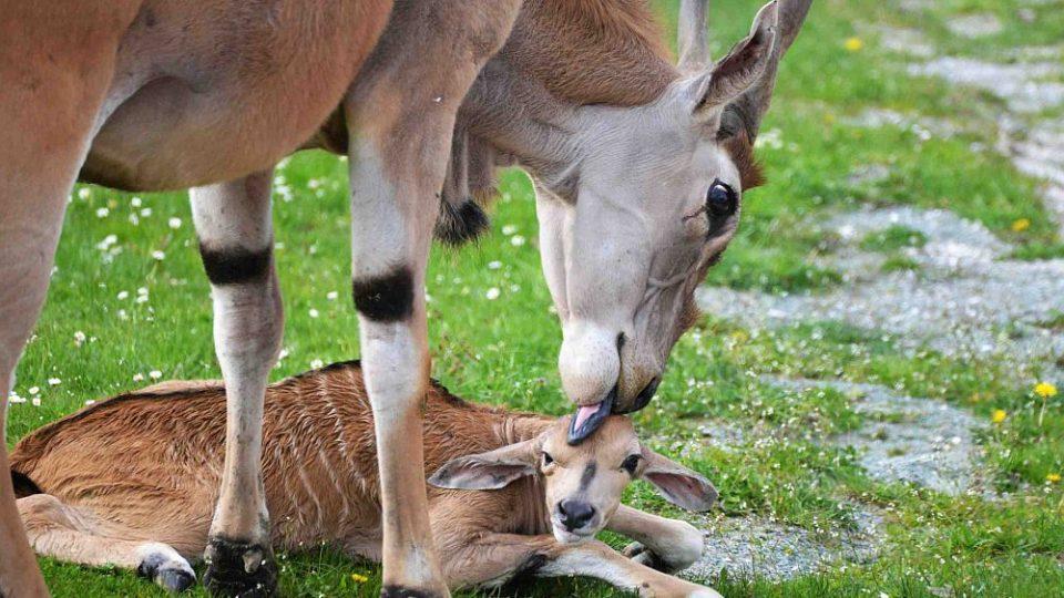 Antilopa losí, první mládě narozené v Safari