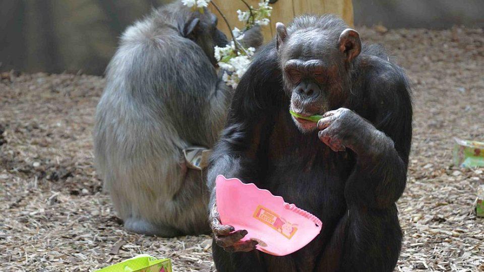 Velikonoce u šimpanzů