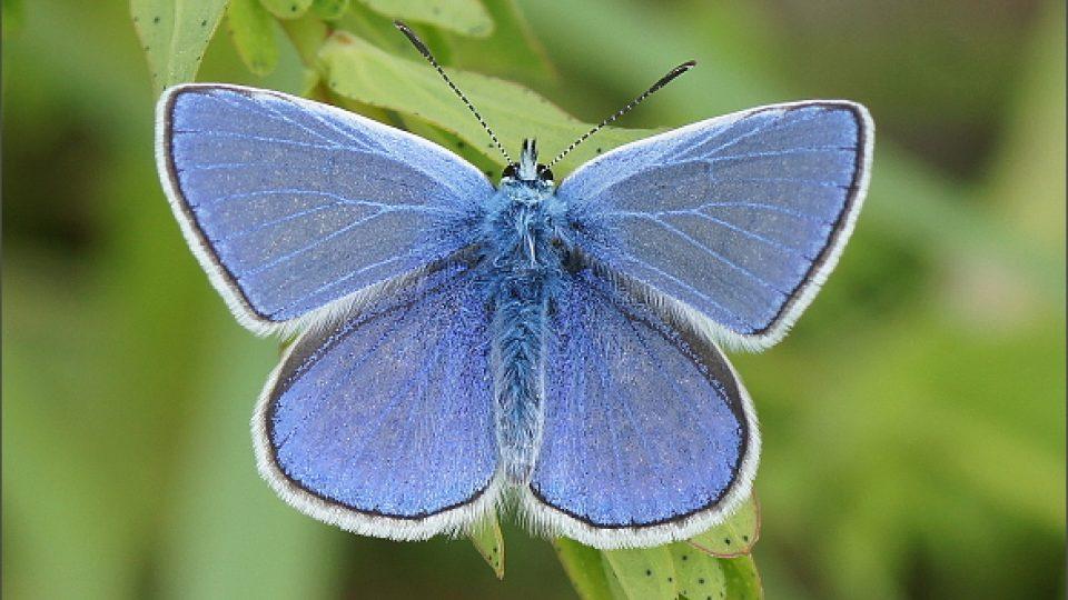 Motýl z Habrova