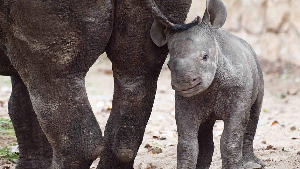 Odchov nosorožce dvourohého Elišky, která je 50. mládětem nosorožce a 38. mládětem nosorožce dvourohého narozeným v historii ZOO Dvůr Králové nad Labem
