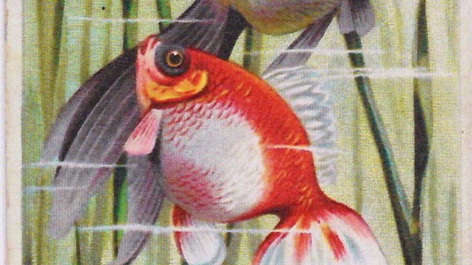 Reklamní litografická kartička - kapr