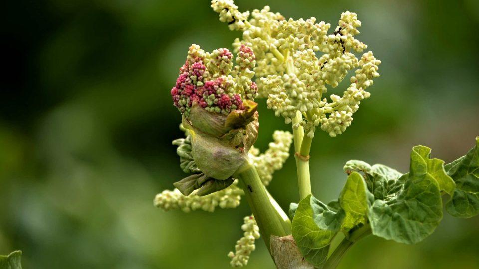 Květ rebarbory - detail