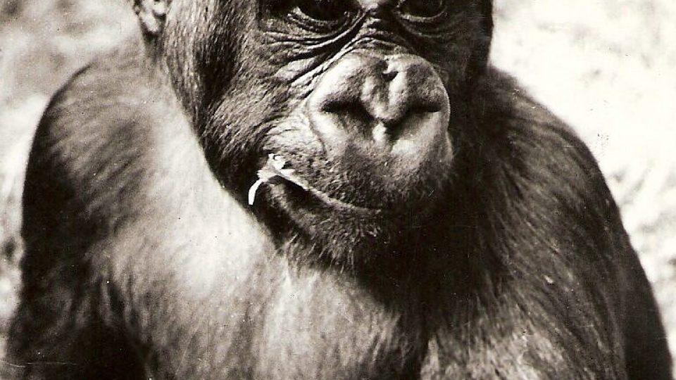 Gorila s nejhezčím pohledem - Tadao oslavil 43. narozeniny