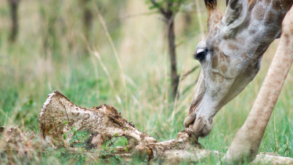Unikátní fotografie: žirafa poprvé pozorována při olizování ostatků jiné žirafy, na kterých je stále ještě maso.