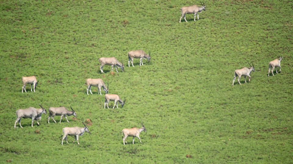Antilopy losí žijí ve stádech. Samci mohou vážit až jednu tunu.