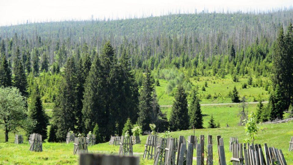 Nové stromy po kůrovcové generaci
