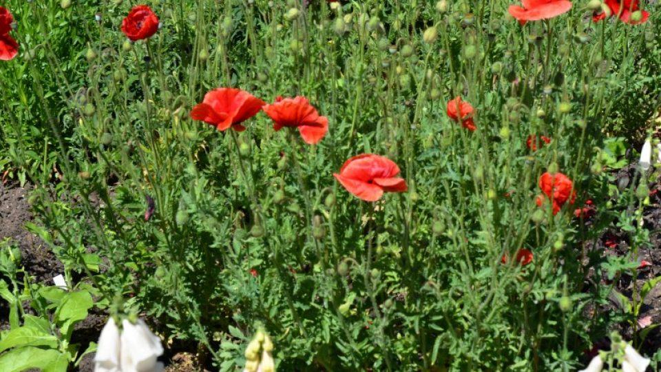 Ani u vlčího máku není potřeba odstraňovat odkvetlé květy