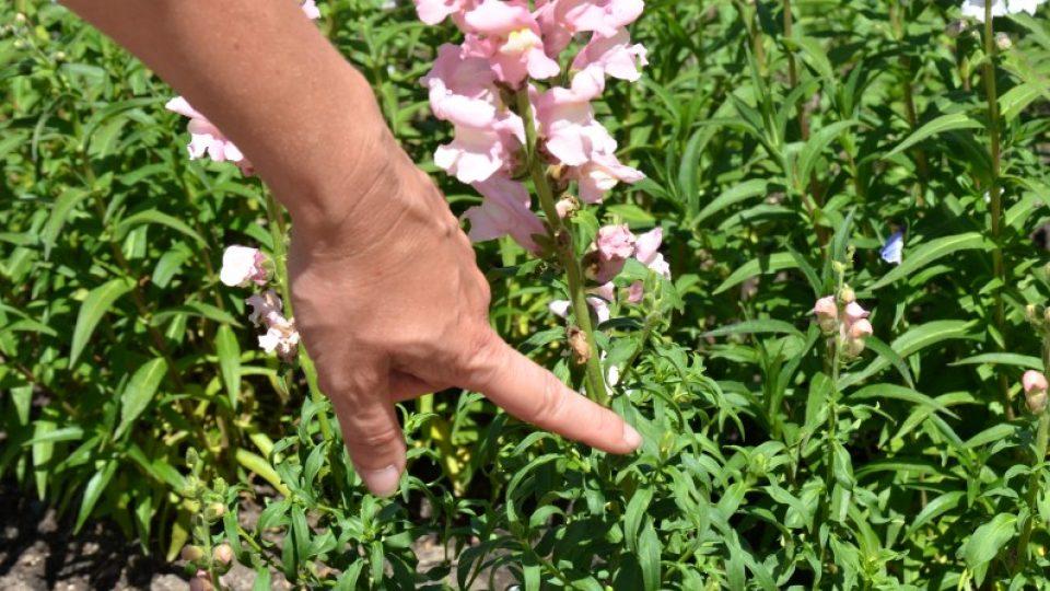 Hledík - odstraněním odkvetlých květenství podpoříme násadu nových