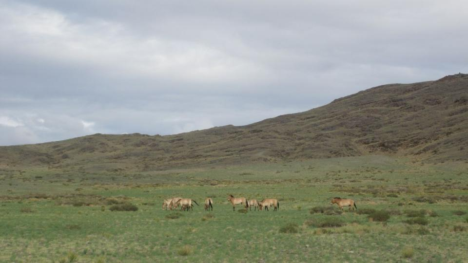 Výprava z pražské ZOO v mongolském Tachin Talu čeká na přílet trojice koní Převalského, která má rozšířit tamní chov