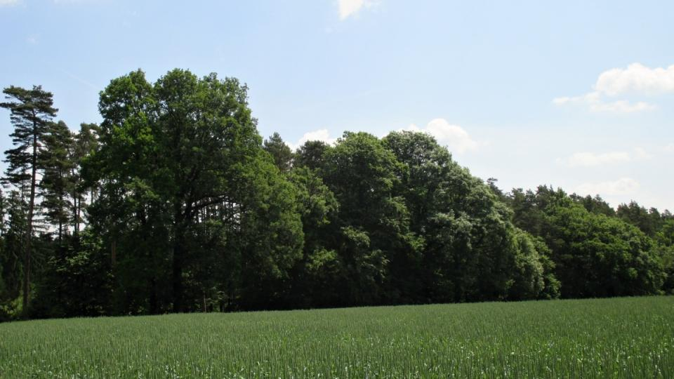 Na kopci Kosina rostou duby