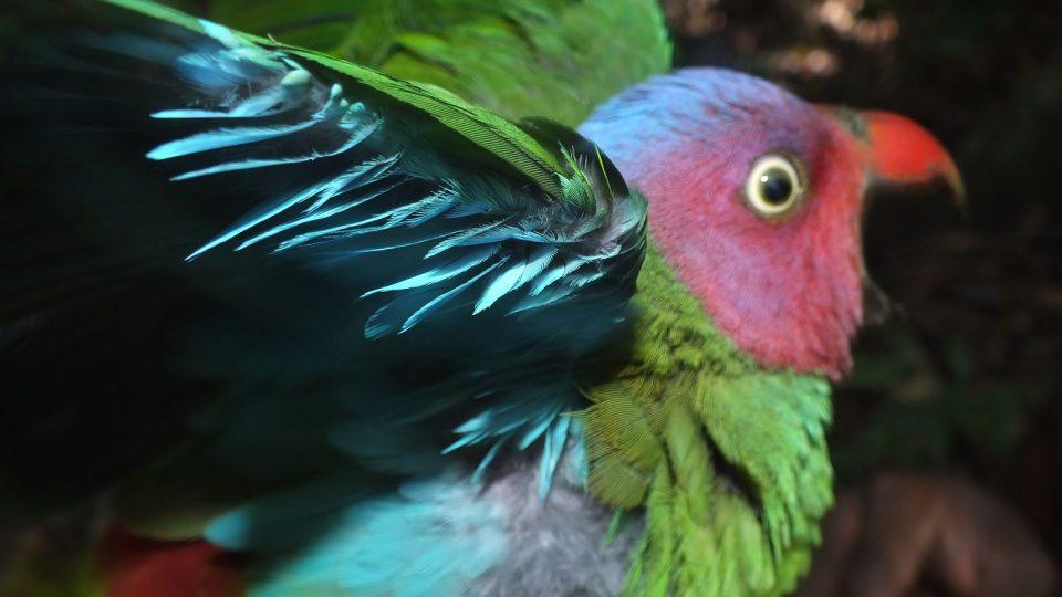 Papoušek uzdičkový