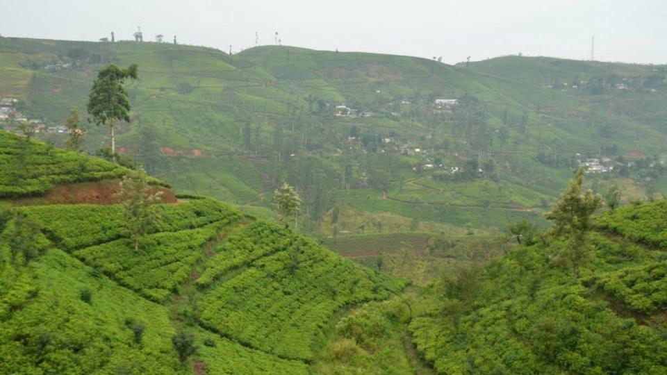 Čajovníkové plantáže se na Srí Lance táhnou od obzoru k obzoru