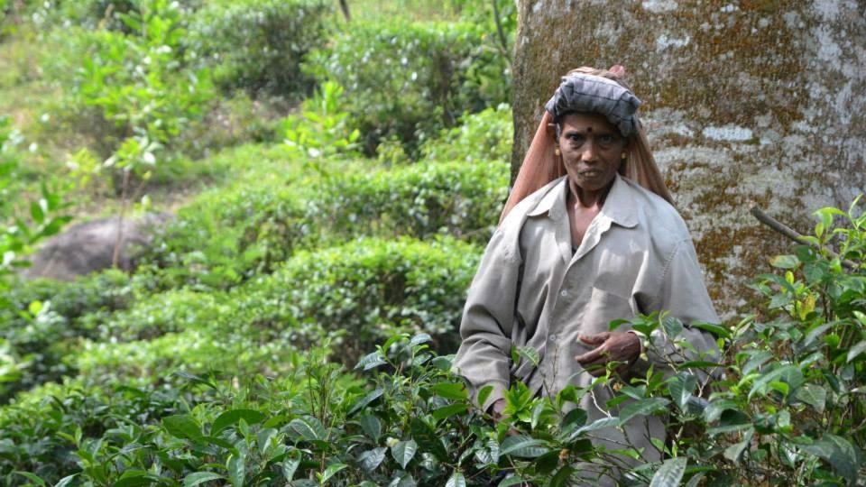Práce na čajovníkových plantážích je úmorná