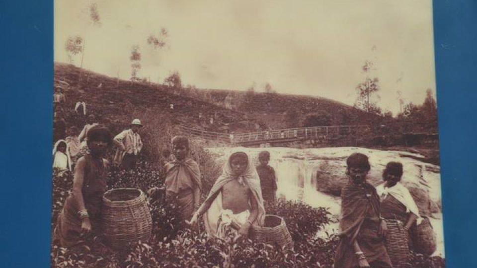 Jedni z prvních čajových polootroků přivezených Brity z Indie