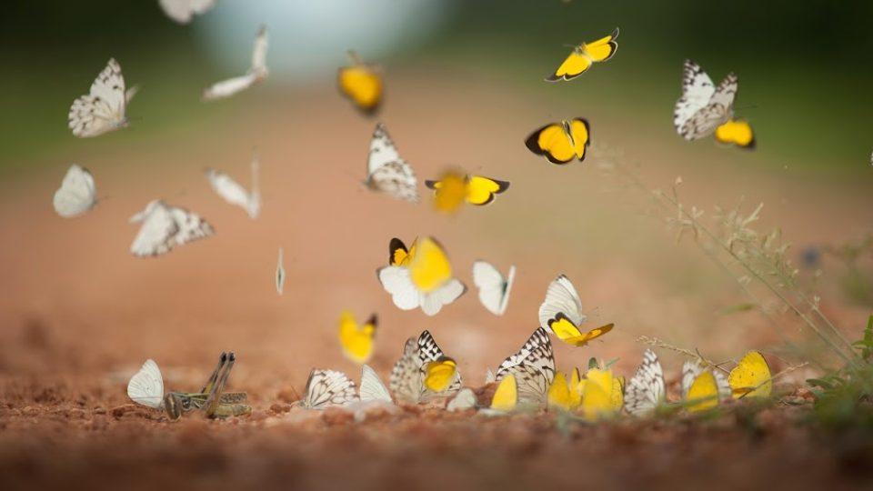 Afričtí motýli dokážou učarovat
