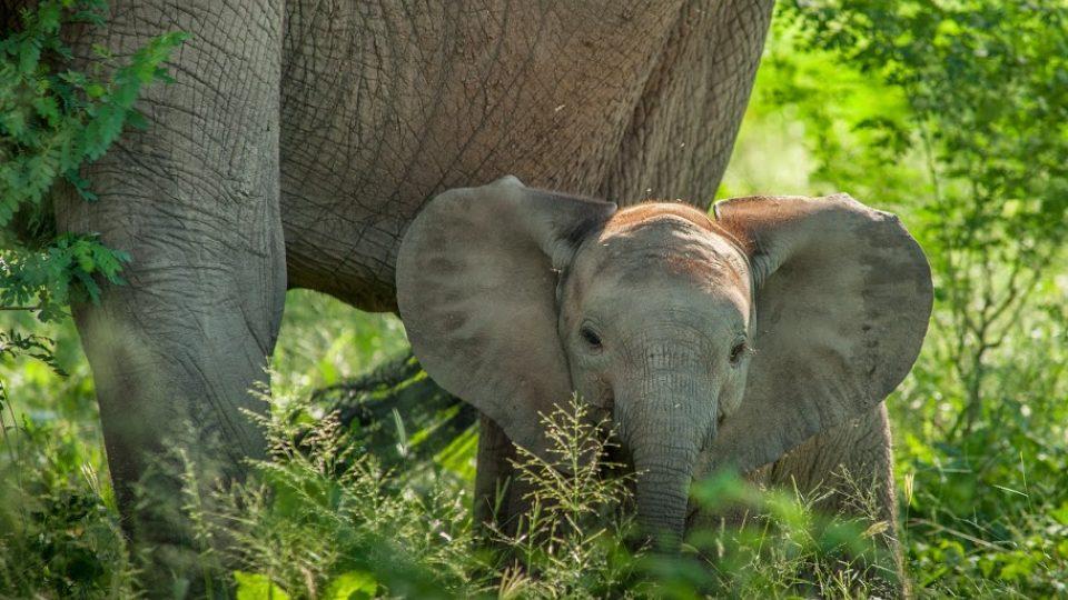 Sloni, opravdu volně žijící v africkém národním parku