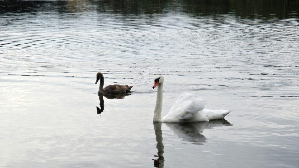 Mladá labuť s rodičem