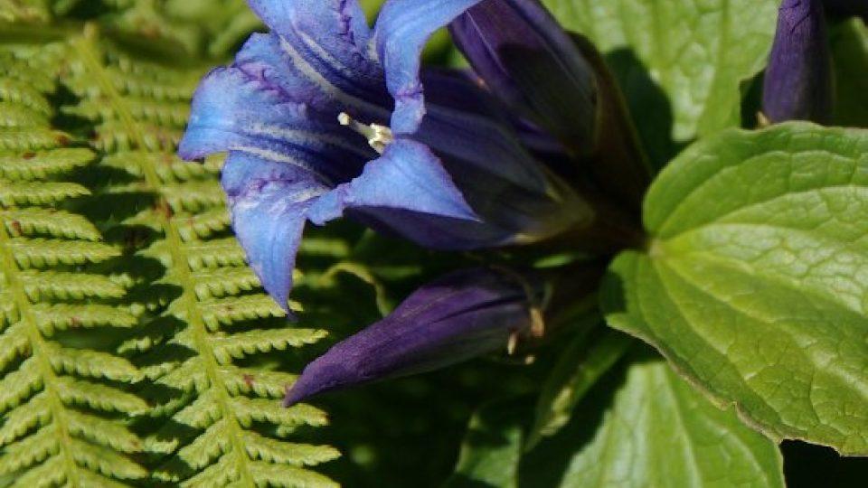 Květy hořců v Krkonoších