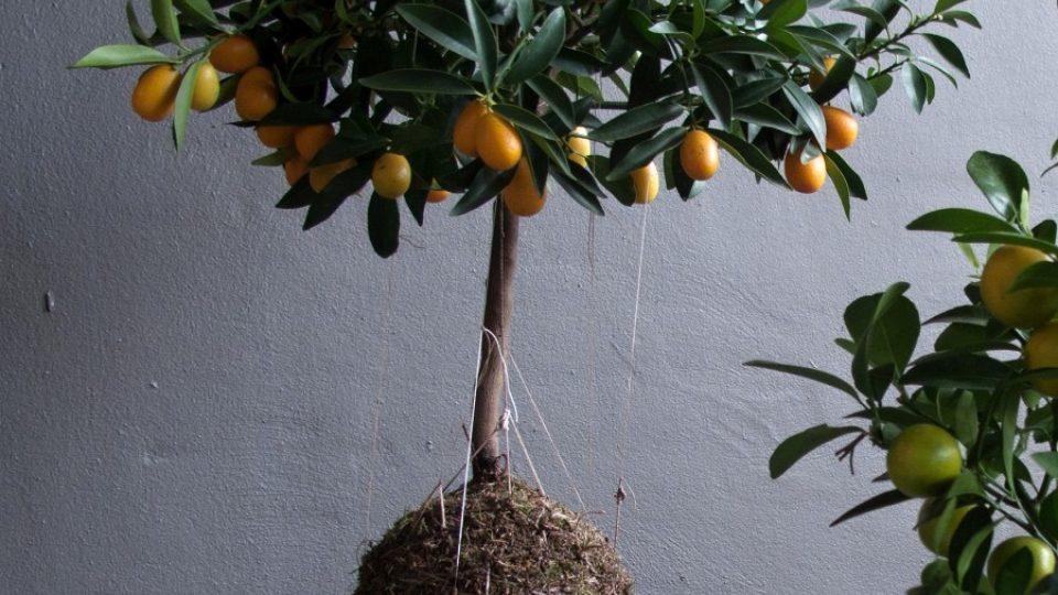 Kokedama - citrus