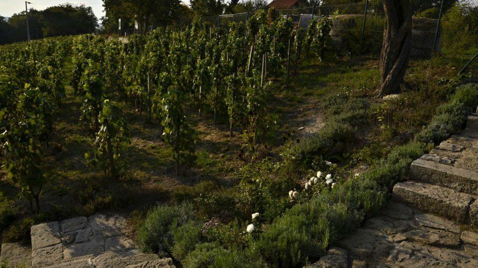 Bylinné záhony na vinici