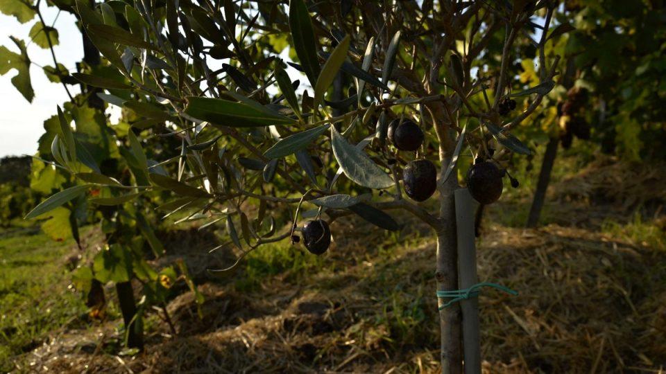 Olivy na vinici