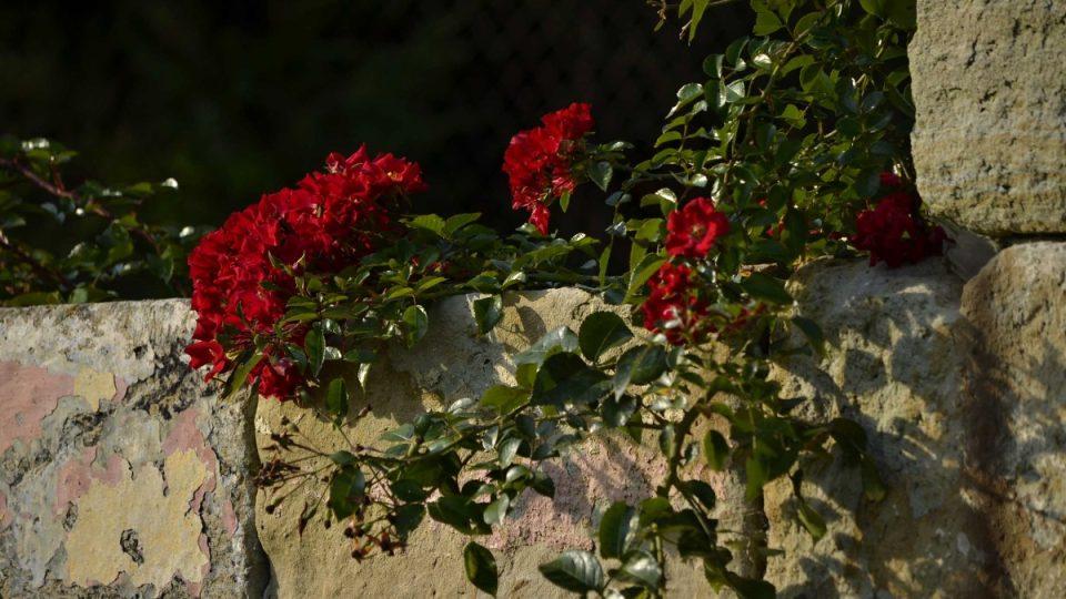 Růže na vinice patří