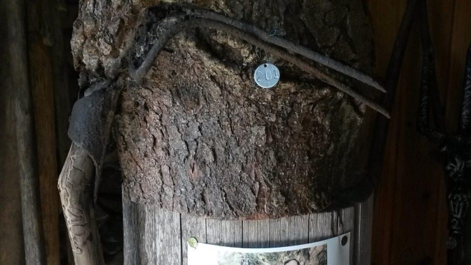 Jedna z rarit muzea - vidle zarosté do kmene stromu