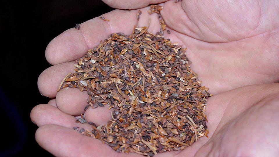 Vyluštěná semena borovice lesní