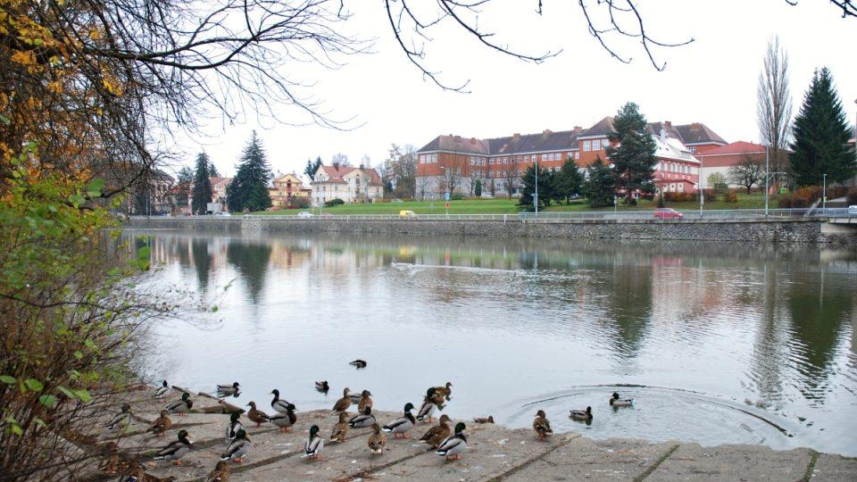 Divoké kachny na vodě rybníka