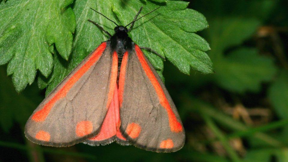 Stanoviště vzácných druhů hmyzu, Thyria jacobae