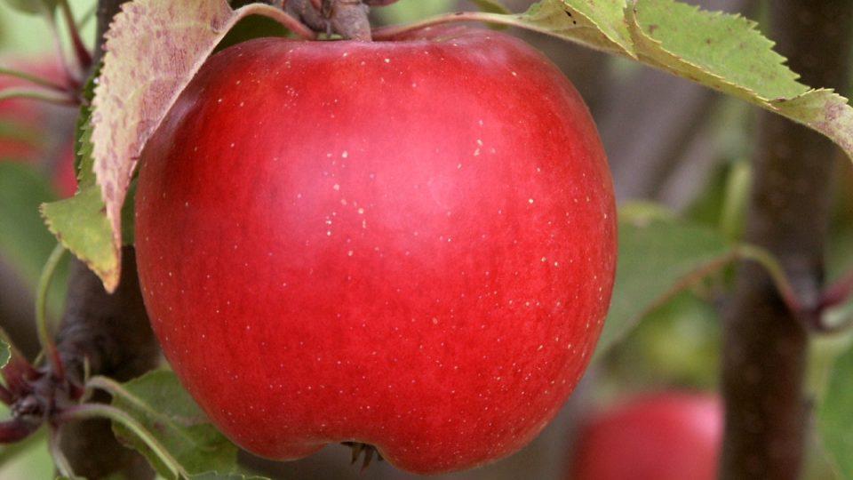 Jablečné sady