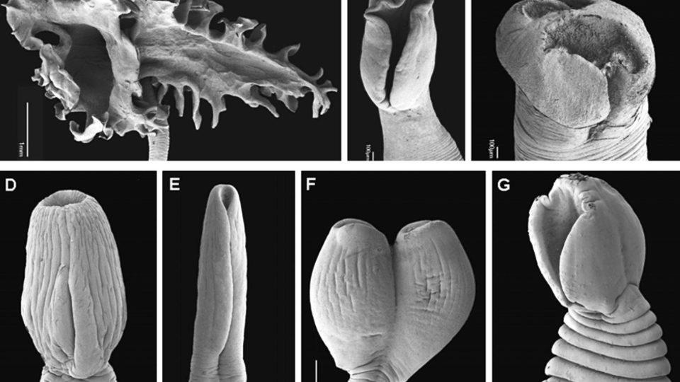Hlavičky (scolexy) vybraných druhů tasemnic z řádu diphyllobothrium focené pomocí skenovací elektronové mikroskopie