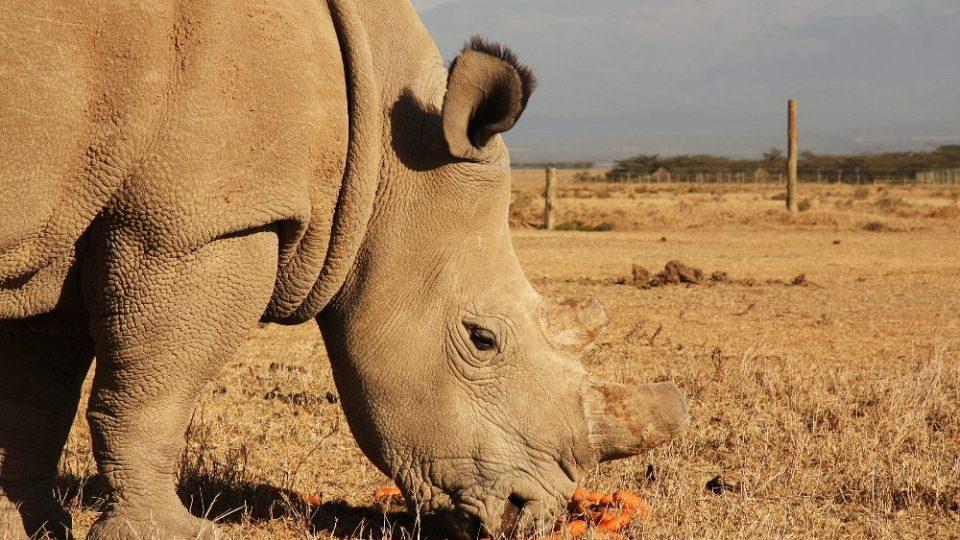 Nosorožci bílí severní v Keni