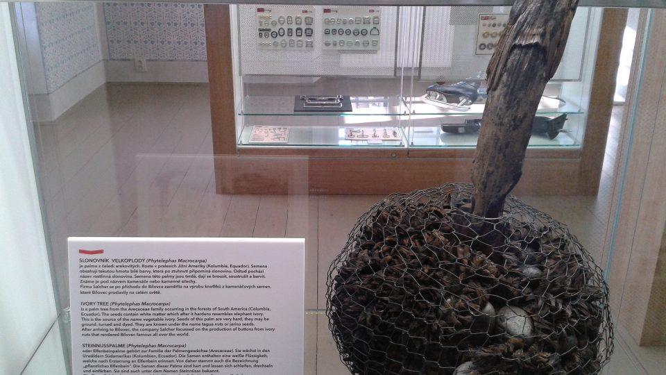 Slonovník velkoplodý - materiál na knoflíky