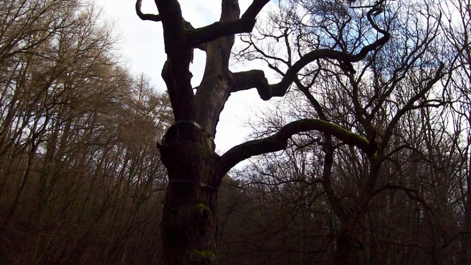 Koruna Oldřichova dubu