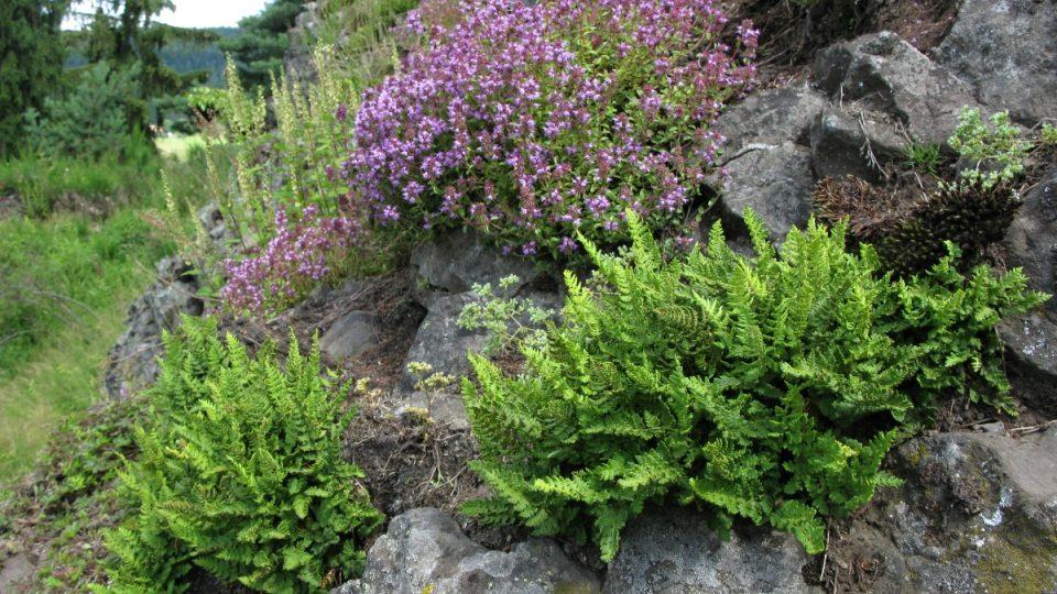 Kapradinka skalní a mateřídouška obecná