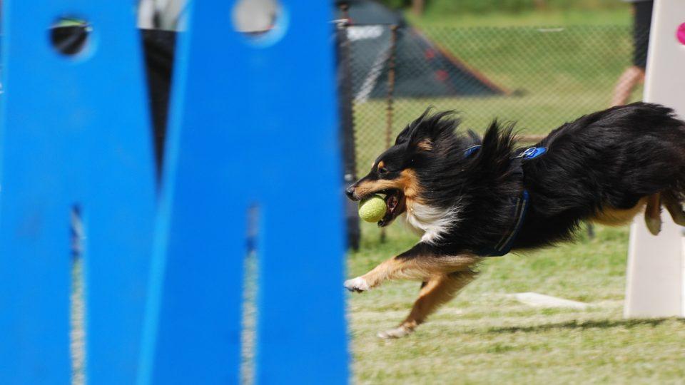 Běh přes překážky je podstatou flyballu