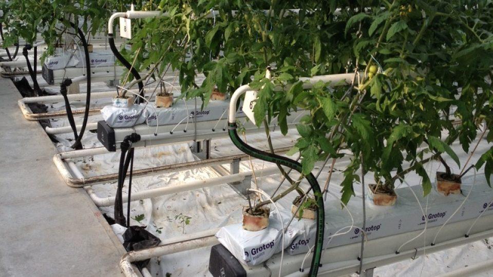 Díky geotermálním pramenům se rajčatům daří
