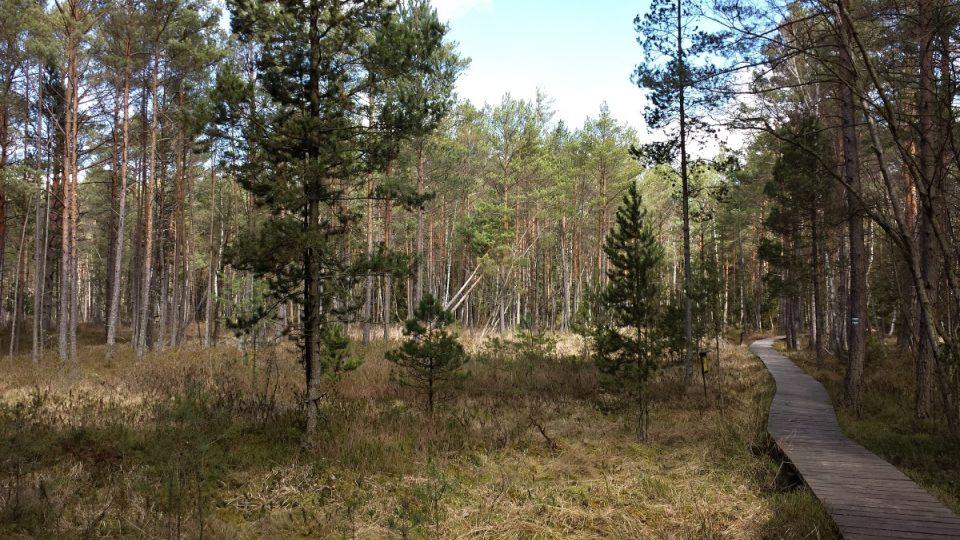 Porost borovice blatky