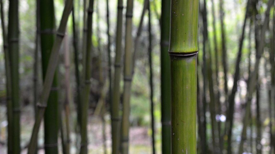Bambus vhodný ke stavbě lešení