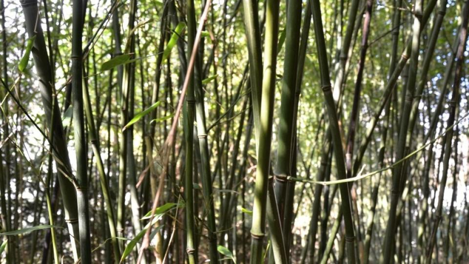 Bambusová houština Phyllostachys bissetii