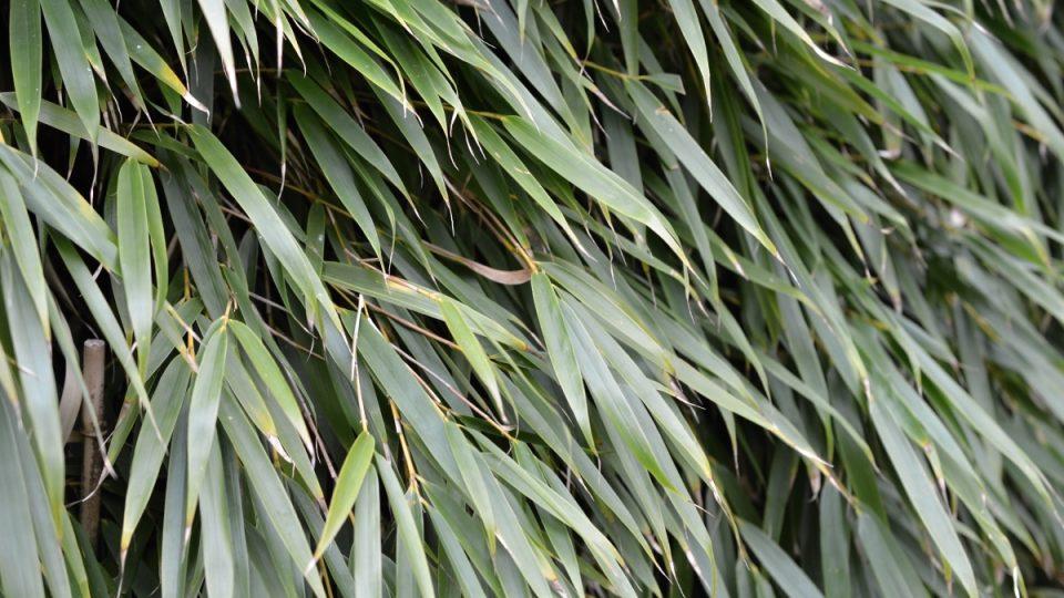 Bambusy se mohou stát neprůhledným živým plotem