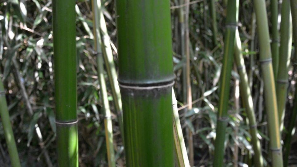 Detail zeleného stébla bambusu