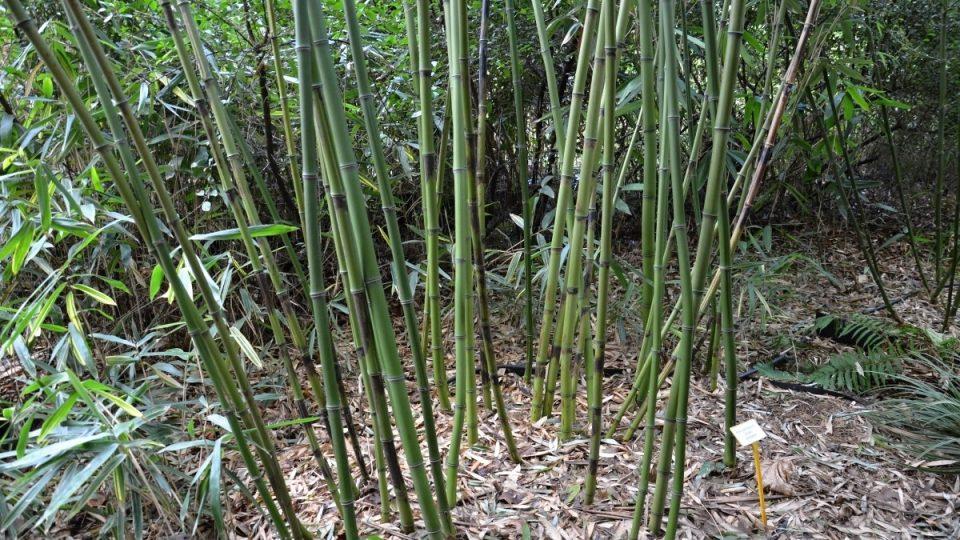 Jedlý druh bambusu s chutnými výhonky