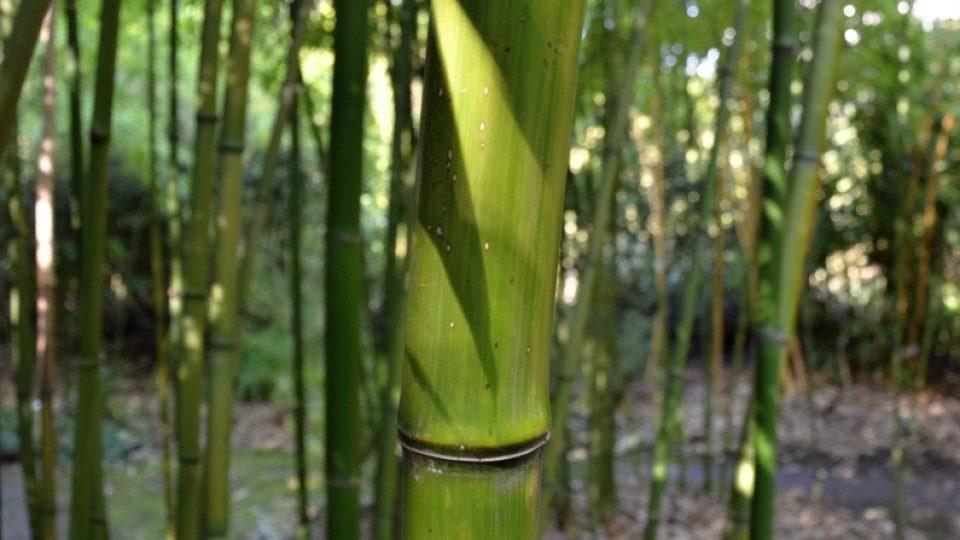 Phyllostachys Shanghai