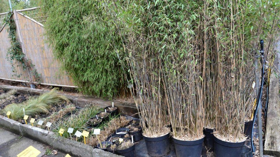 Sazenice bambusu bývají vysoké 1,5 až 4 metry