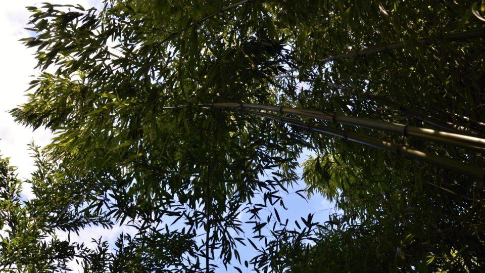 Stébla bambusů mohou u nás dorůst do výšky 8 nebo 9 metrů