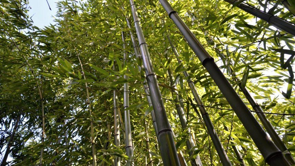 Stromovité formy bambusů