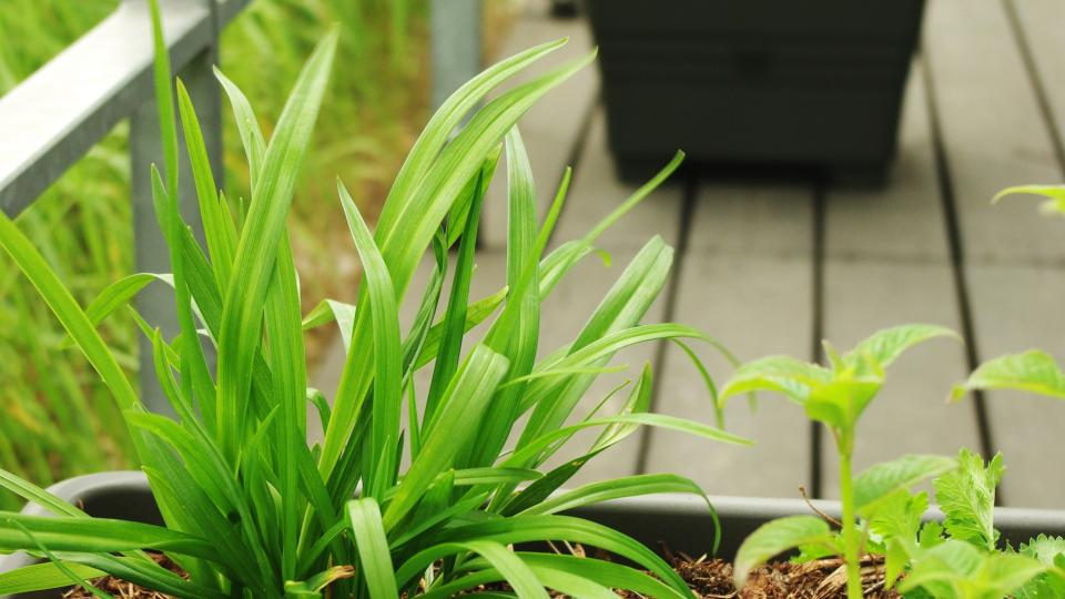Jedlá divoká zelenina na terase
